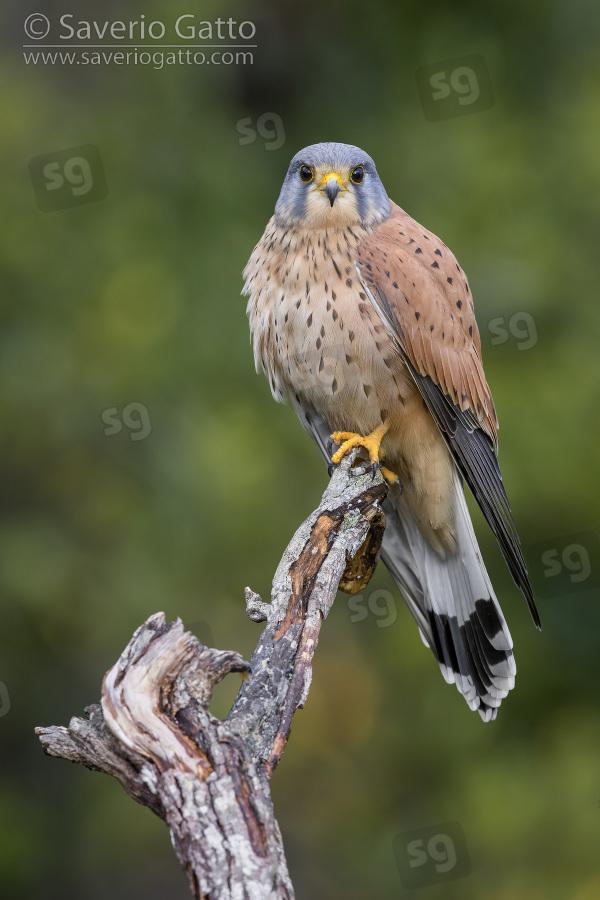 Gheppio, maschio adulto posato su un ramo