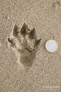Impronta di lontra