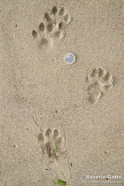 Traccia di lontra