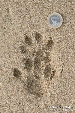 Impronte di lontra