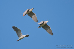 Night Herons in flight