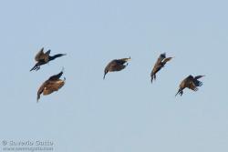 Cormorani in volo