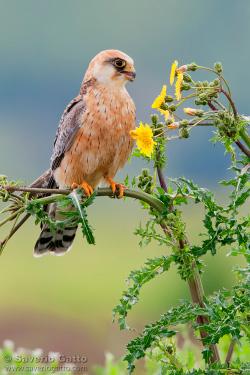 Falco cuculo