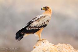 Greater Spotted Eagle (var. fulvescens)
