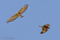 Falco pecchiaiolo orientale