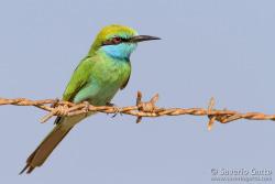 Little Green Bee-eater