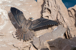 Falco della regina