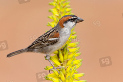 Iago Sparrow