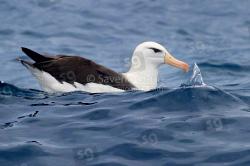 Albatros sopracciglineri
