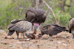 Avvoltoi su una carcassa