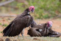 Avvoltoio orecchiuto