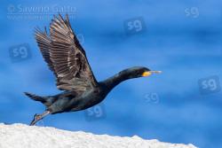 Cormorano del Capo