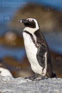 Pinguino africano