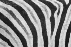 Mantello di Zebra di Burchell